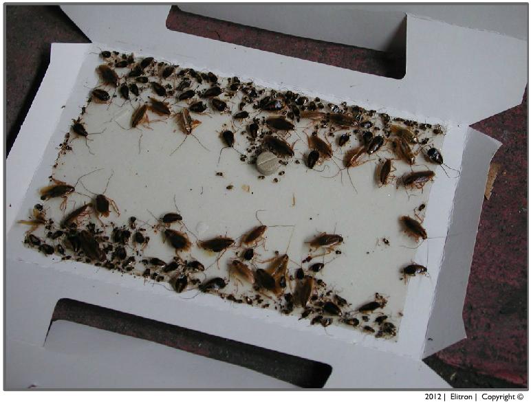 Disinfestazione elitron disinfestazioni e consulenze entomologiche a milano - Da dove vengono gli scarafaggi in casa ...